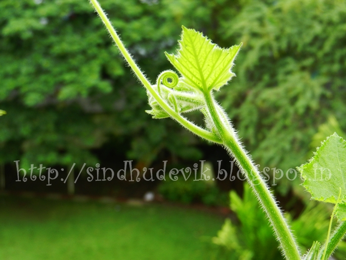 A shoot of a vegetable creeper with baby leaves and tendrils photographed in dark background