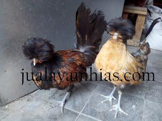Ayam Poland Usia 5 Bulan