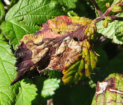 One of last year's blackberry leaves close up.