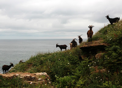 Cabras en el acantilado. Cueva de Cucabrera en Galizano. Ribamontán al Mar. Cantabria