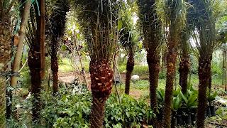 Jual Tanaman Palem Phoenix,Jual Pohon Palem Phoenix Harga Murah,Jual Palem Phoenix Berbagai Ukuran