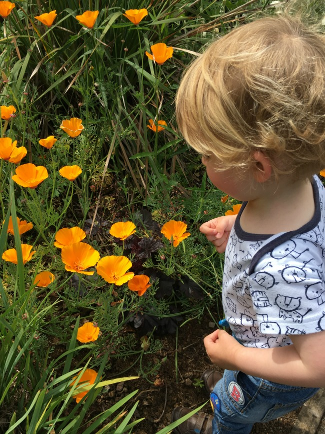 toddler-looking-at-brght-orange-welsh-poppies