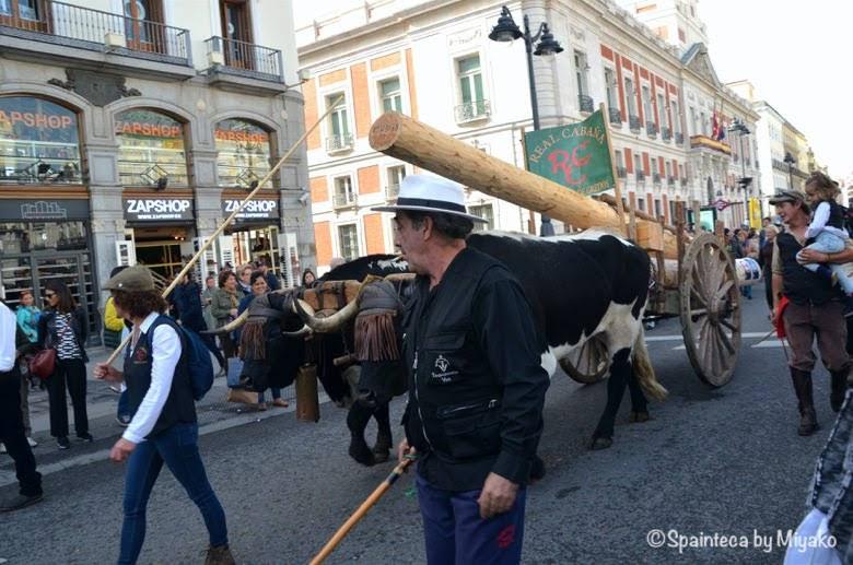 Fiesta de la Trashumancia Madrid  マドリードのソル広場で移牧される大きな牛の行進