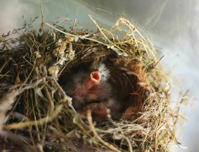 baby_birds_hungry_