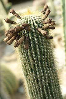 Cactus du Mexique : Neobuxbaumia polylopha
