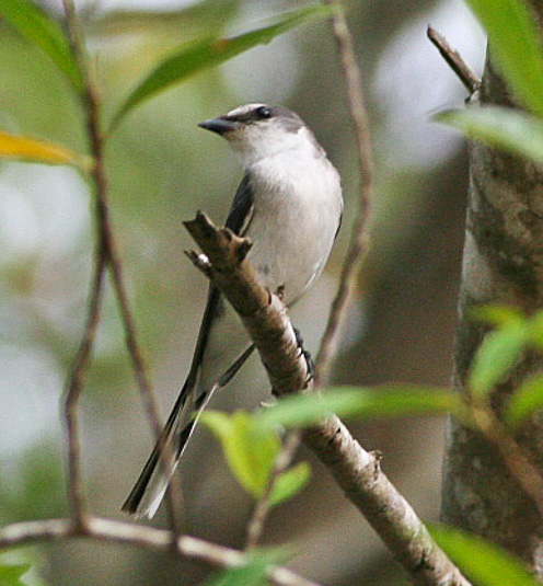Indian birds - Image of Ashy minivet - Pericrocotus divaricatus