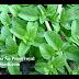 Bạc hà Âu Pennyroyal ( Mentha pulegium,MEN00183 )