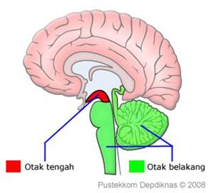 Otak Tengah (Mesenfalon) dan Otak Belakang