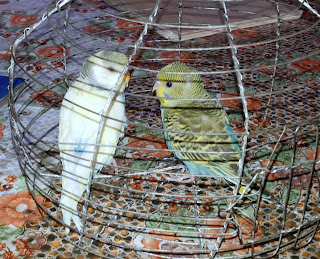 bird trade is illegal. Caged birds for sale.