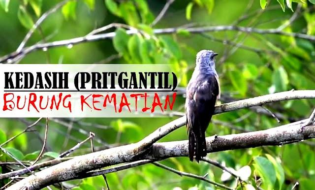 Burung Kedasih Pritgantil Pertanda Kematian