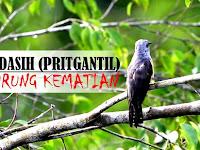 Burung Kedasih menurut Islam, Apakah Pertanda Kematian Seseorang?