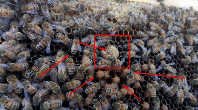 Ορφάνια μελισσιού με πολλούς κηφήνες: Και τώρα τι κάνουμε;