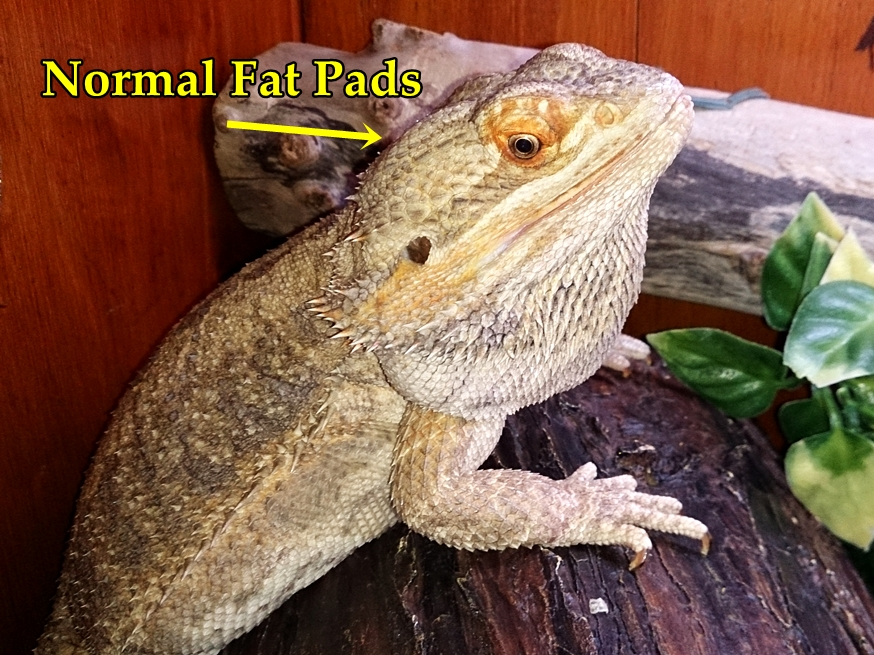 Bearded Dragon Care For Beginners: My Bearded Dragon is ...