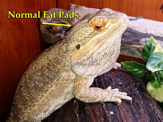 Bearded dragon fat pads
