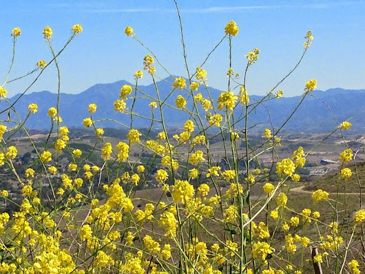 Mustard along San Clemente and San Juan Capistrano Trails and Hills