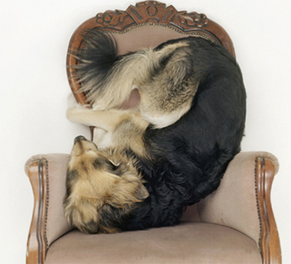 Maarten Westemas Dogs on Chairs