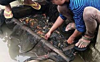 Cara Budidaya Ikan Mas buat pemula