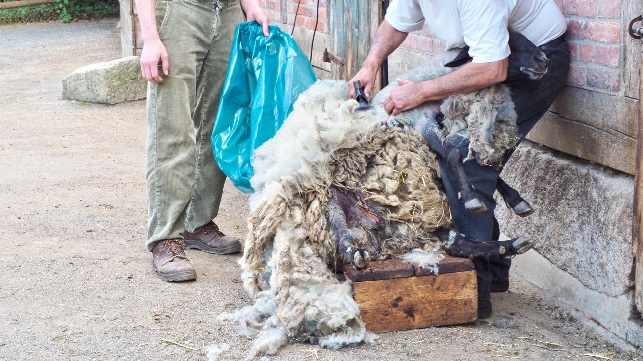 Schaf bei der Schur im Zoo Hannover