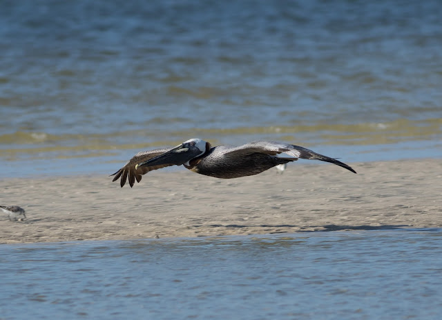 Brown Pelican - Bunche Beach, Florida