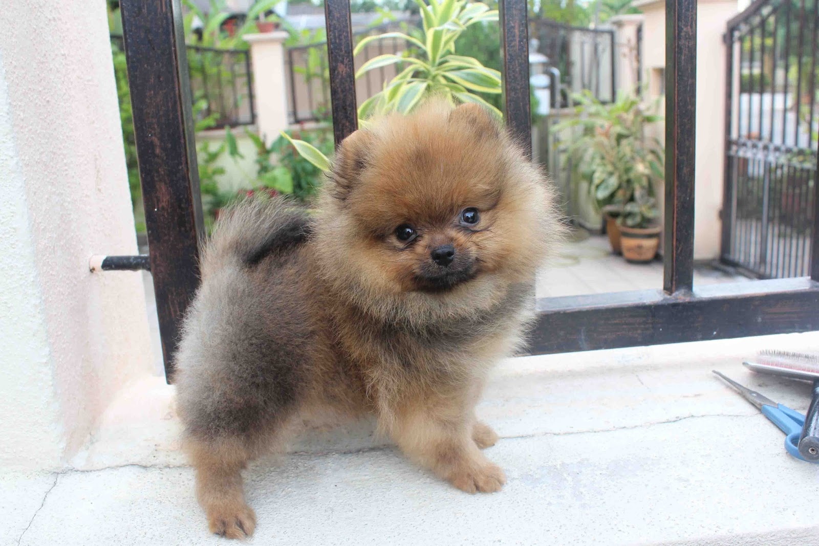 orange pomeranian puppy orange sable pomeranian 4241