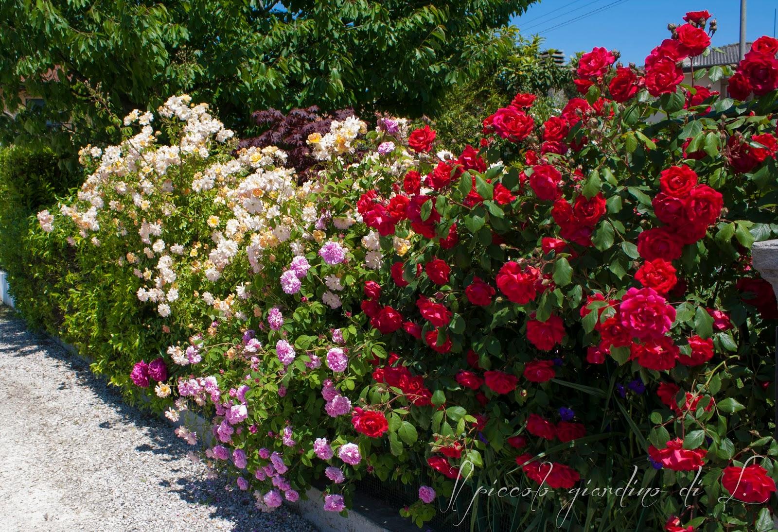 Il piccolo giardino di l la siepe di rose