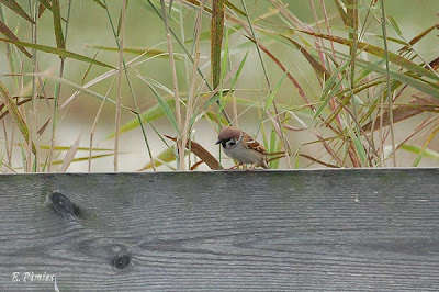 Pardal xarrec (Passer montanus)