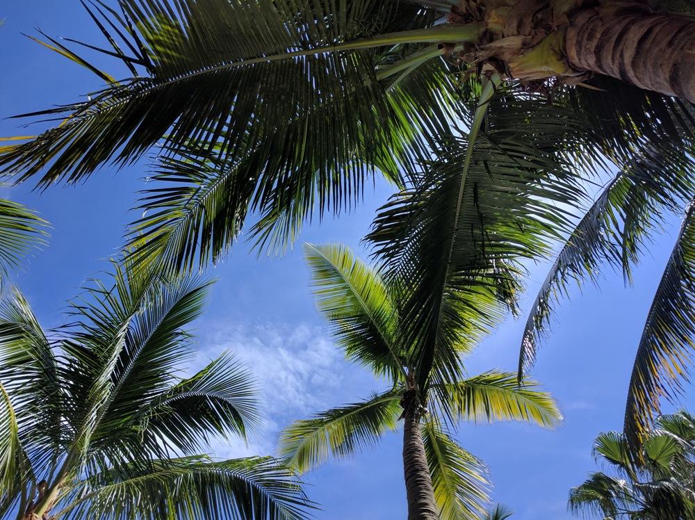 Palm trees, Miami Beach