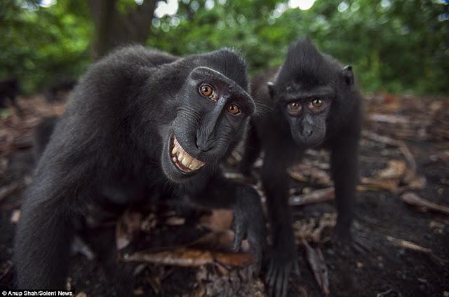 Обезьяны Хохлатые павианы улыбаются Обезьяны Хохлатые павианы улыбаются Индонезия В индонезийском Национальном парке Тангкоко в Сулавеси живут очень дружелюбные павианы, которые так привыкли к туристам, что даже улыбаются им при встрече.   В индонезийском Национальном парке Тангкоко в Сулавеси живут очень дружелюбные павианы, которые так привыкли к туристам, что даже улыбаются им при встрече.  Обезьяны Хохлатые павианы улыбаются  Хохлатые павианы регулярно знакомятся с туристами, гуляющими по парку. Одним из них оказался фотограф Ануп Шах, прибывший из Чиппенхэма (графство Уилтшир, Великобритания). Несмотря на то что он знал о возможности «близкого контакта» с павианами, улыбок никак не ожидал, передает Mirror.  Обезьяны Хохлатые павианы улыбаются   «Они были очень любознательны и смело приближались на расстояние вытянутой руки. Мы гостили в парке четыре недели, за это время павианы начали признавать нас и общаться», — рассказал Шах. Он фотографирует животных в дикой природе почти 20 лет и получившимся снимкам с улыбающимися мартышками был несказанно рад.     Хохлатые павианы славятся своей любовью к вниманию. В 2014 году в интернете вирусным стало селфи, которое одна из мартышек сделала на камеру британского фотографа Дэвида Слейтера. Из-за этого изображения даже разразился спор о том, можно ли считать снимки произведениями искусства, сделанными не человеком, и являются ли они объектами авторского права.