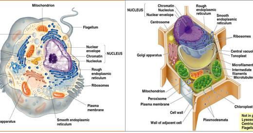 Fungsi Fungsi Bagian Dari Organel Sel Hewan Dan Tumbuhan Biologi Manfaatke Com