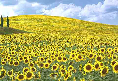 Sunflower Fields In Tuscany Italy