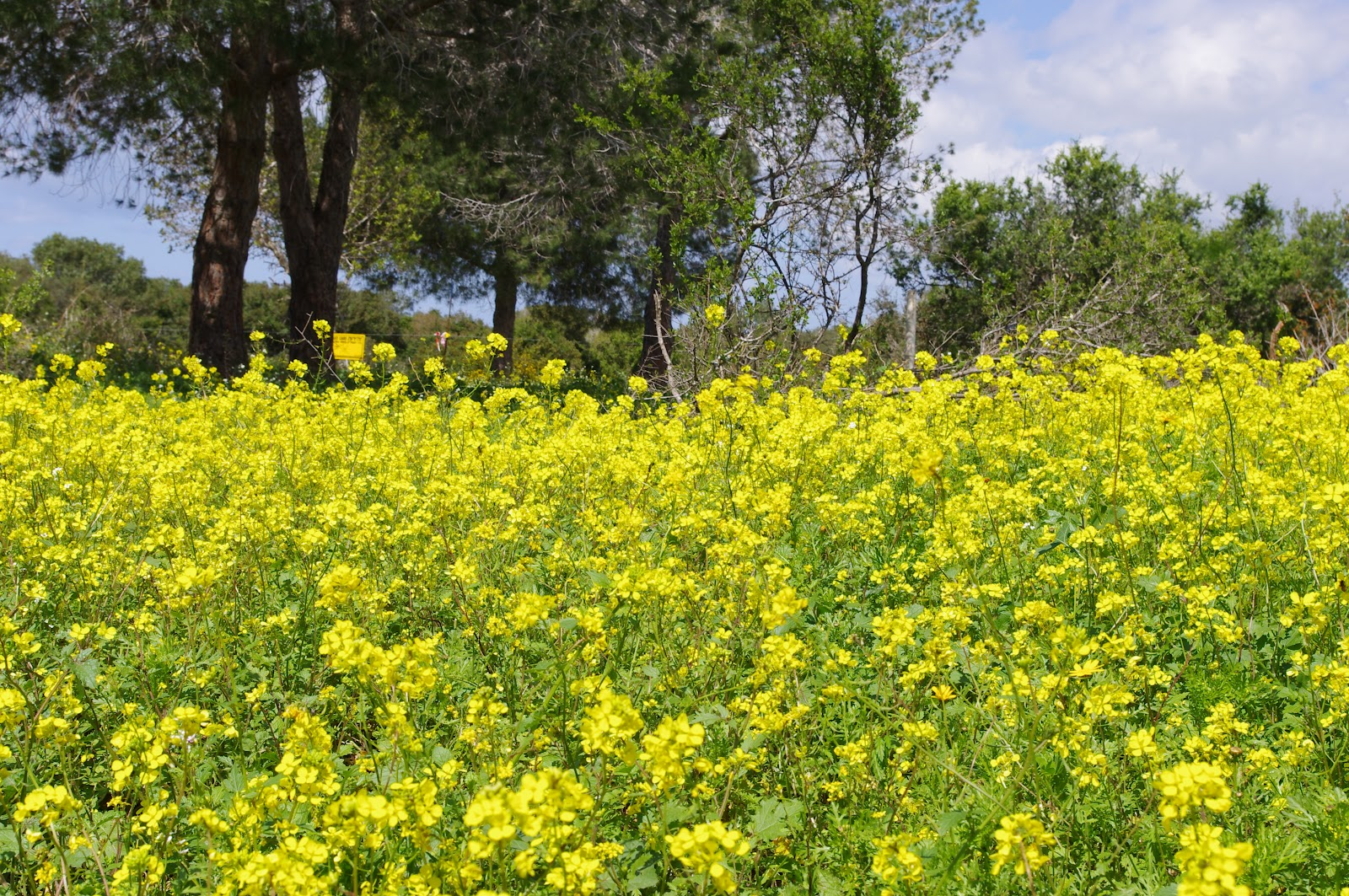 A Letter From Israel The Wild Mustard Flowers Of Israel