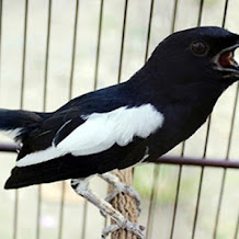 Cara Perawatan Burung Kacer Untuk Pemula