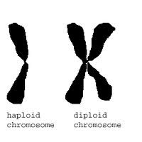 Kromosop haploid dan diploid