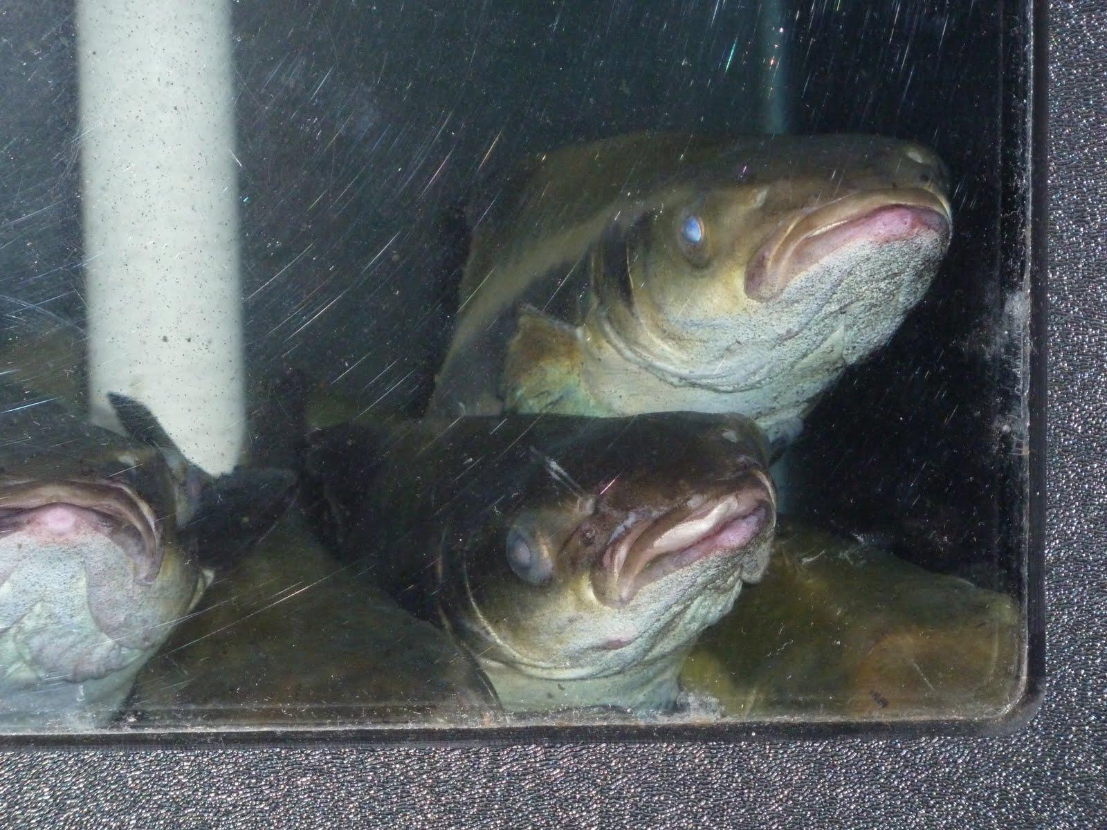Wok With Corinna Amazing Quot Cobia Quot Fish Ǿ�味 Quot Ƶ�鱺魚 Quot