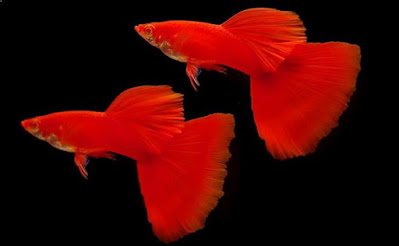 Ikan Guppy Super Red