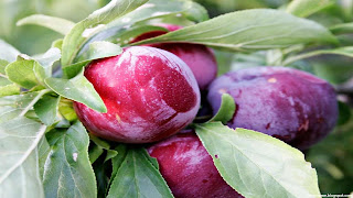 plum fruit images wallpaper