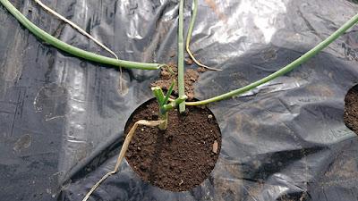 玉ねぎ苗植え付け後、次の日にネキリムシの被害。