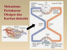 Mekanisme Pertukaran Oksigen dan Carbondioksida