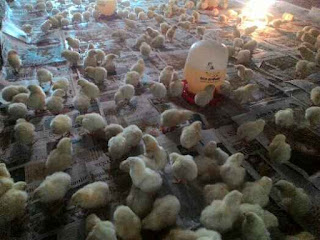 4 Jenis Vaksin Yang Bisa Diterapkan Untuk Ayam Broiler