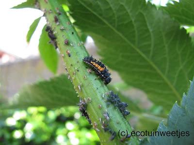 bladluizen bestrijden, bladluizen biologisch bestrijden, bladluizen ecologisch bestrijden, lieveheersbeestje, larve