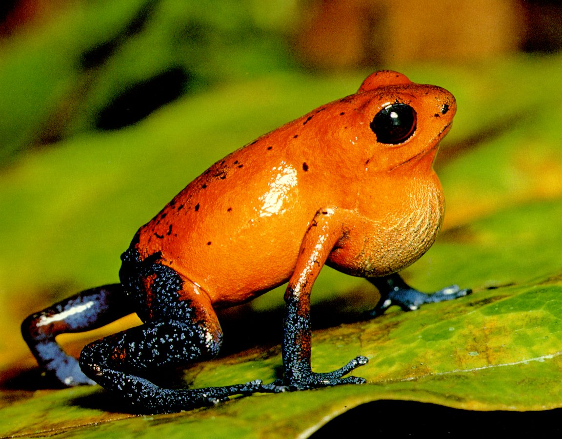 V Frog Kpm Katak cantik ya...