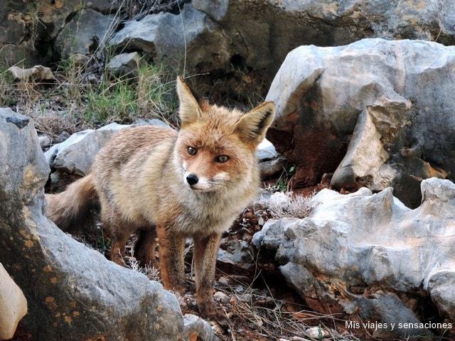 Zorro en la Sierra de Cazorla, Segura y las Villas