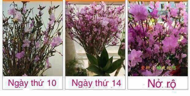 Hoa do quyen ngu dong o Tay Ho