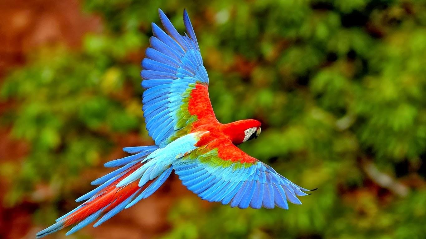 scarlet macaw birds high - photo #13