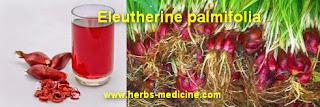 Ovarian cancer use Eleutherine palmifolia