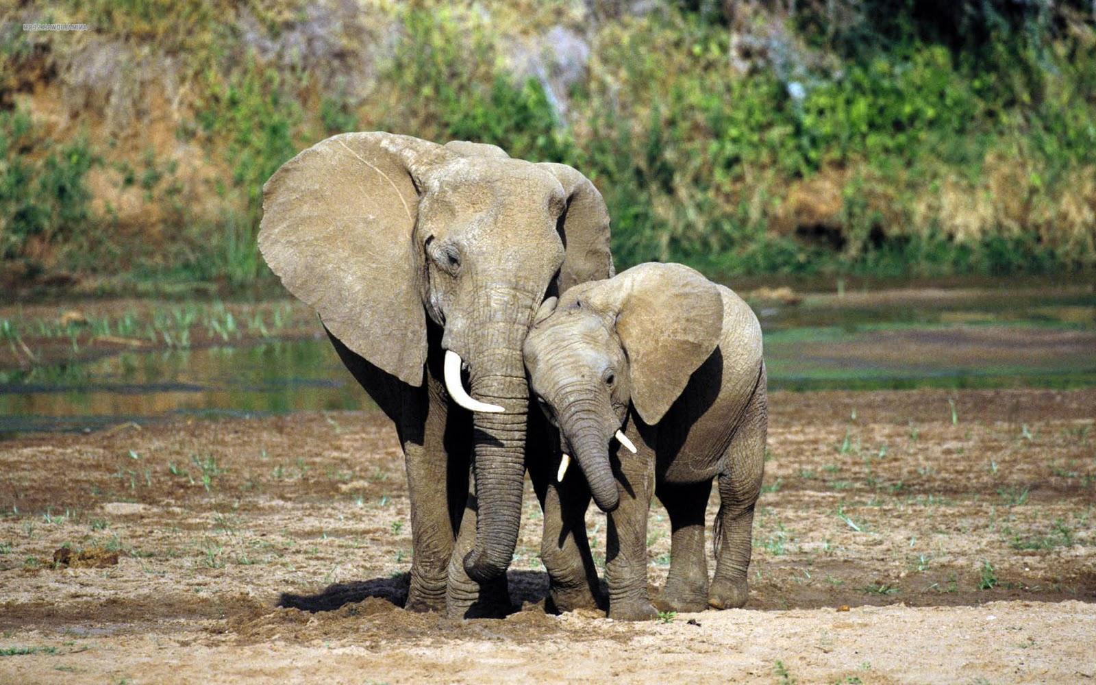 olifanten achtergronden bureaublad - photo #7