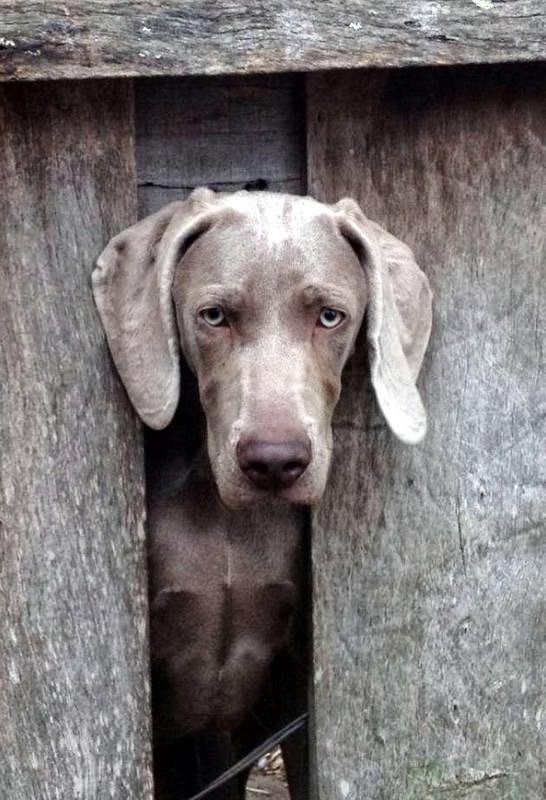 Rosewin Weimaraners Its All About Weimaraners