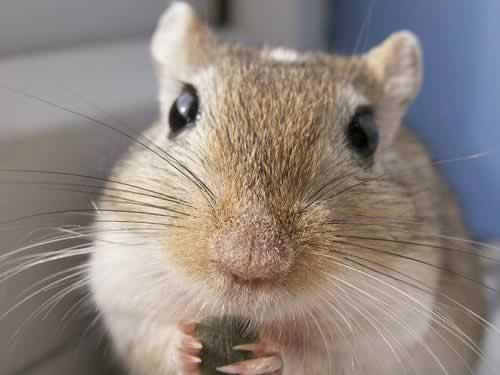 Hamster Talk!: GERBIL WEEK: Body Language