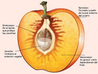frutos parte de la planta