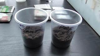 При посеве рассады помидоров стаканчики заполняю грунтом на треть